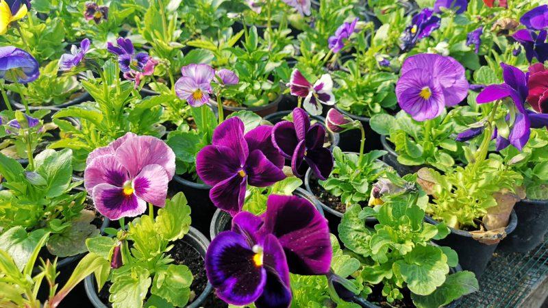 """ЈП """"Камена Река"""" со 20.000 цвеќиња од сопствено производство ќе го разубавува градот"""