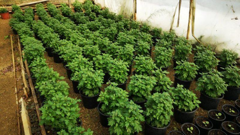 Нови 20.000 садници од сопствено производство за есенско разубавување на Македонска Каменица